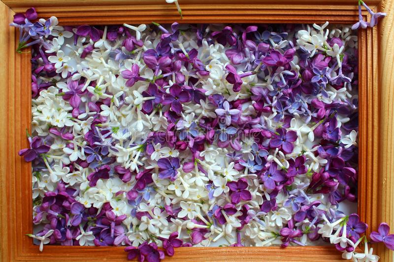 Bez, wiosna, tło, tekstura, kwiaty, kwiat, kwitnienie, piękny, natura, syringa, krzak purpurowy, świeży, kwiat, fiołek, gre zdjęcia stock