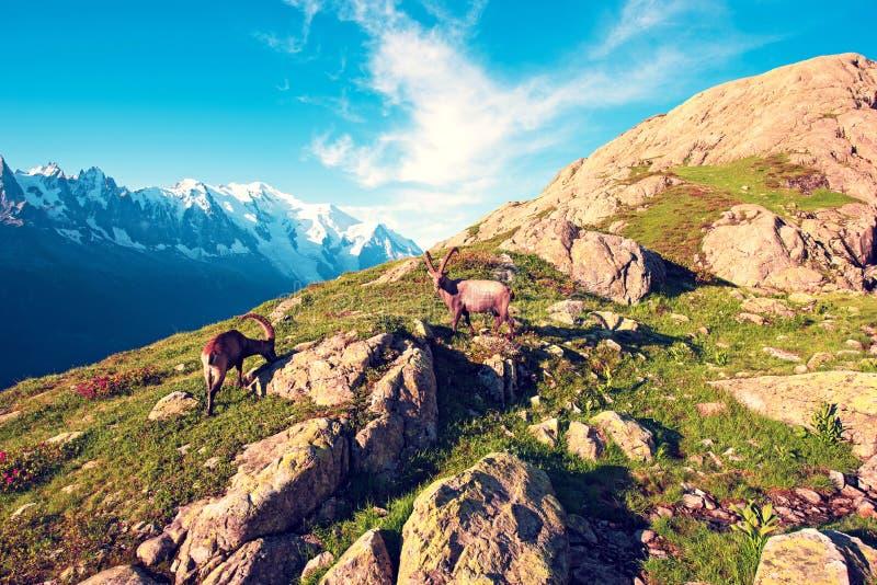 Bezaubernde Berglandschaft mit Gebirgsziegen in den französischen Alpen nahe dem Gummilack Blanc-Gebirgsmassiv gegen den Hintergr stockfotos