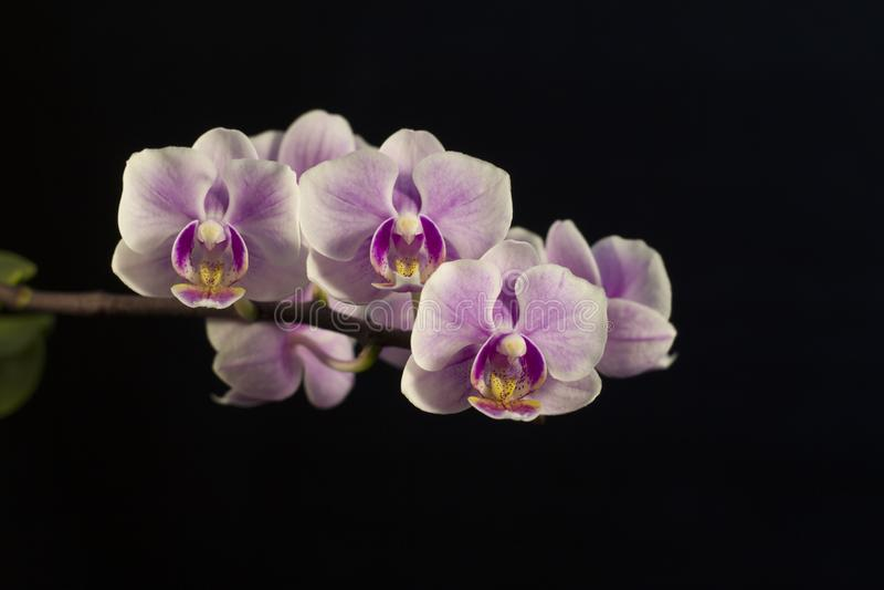 Bezaubernde Blumen einer violetten Orchidee stockbilder