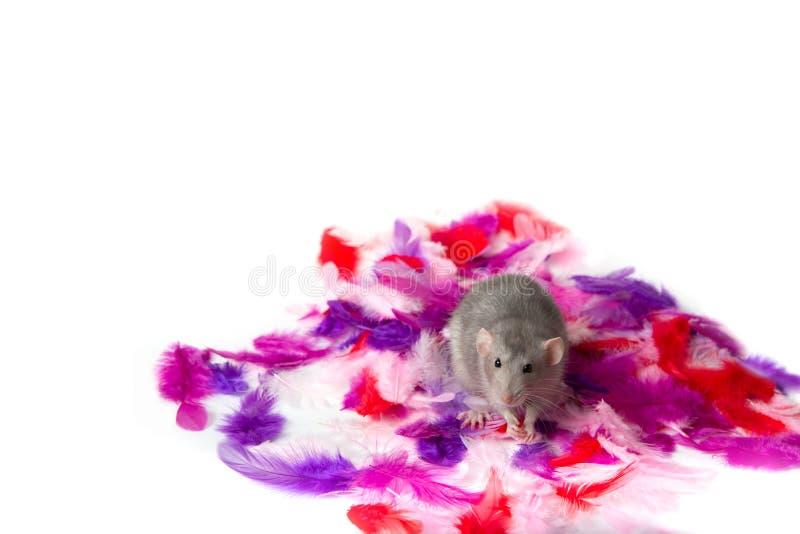Bezaubernde dumbo Ratte und mehrfarbige Federn auf einem weißen lokalisierten Hintergrund Nettes Haustier Symbol von 2020 Einladu stockbilder