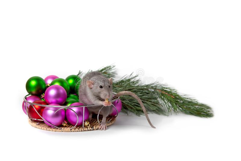 Bezaubernde Ratte Dumbo sitzt nahe bei Weihnachtsdekorationen und einer Kiefernniederlassung Einladung des neuen Jahres Symbol de stockfotos