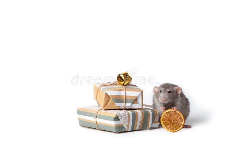 Bezauberndes Haustier Dekorative dumbo Ratte auf einem weißen lokalisierten Hintergrund Sind in der Nähe Geschenke und getrocknet stockbild