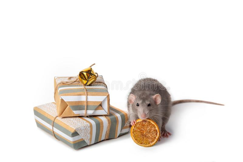 Bezauberndes Haustier Dekorative dumbo Ratte auf einem wei?en lokalisierten Hintergrund Sind in der N?he Geschenke und getrocknet stockfoto