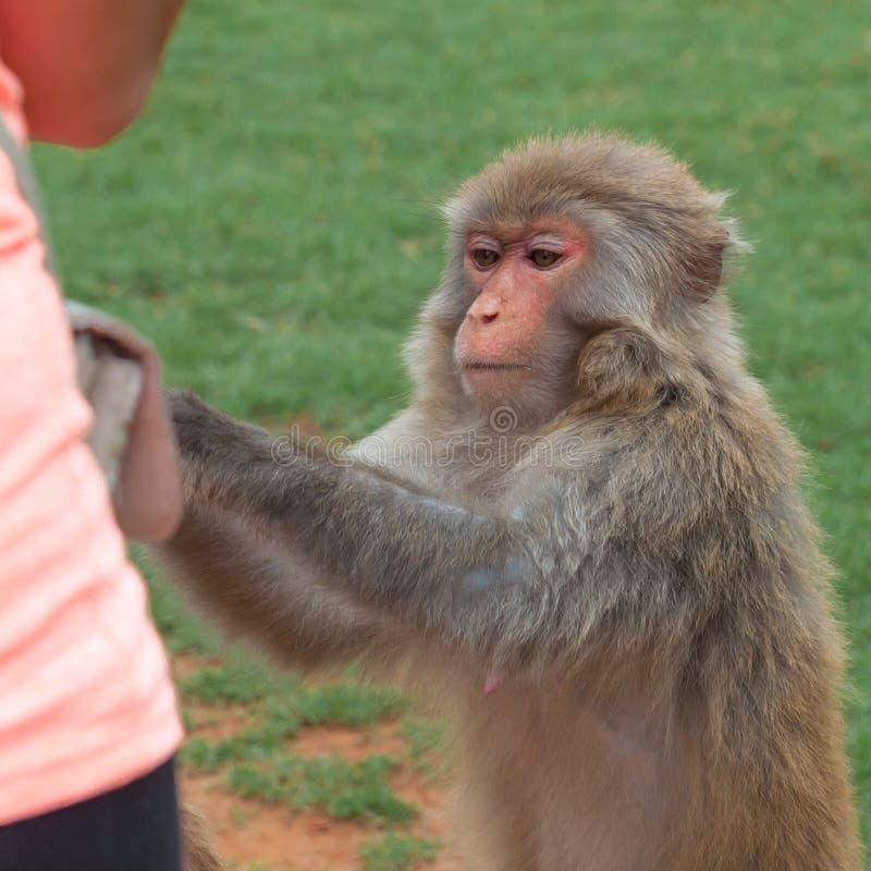 Bezceremonialni makaków zerknięcia pytają dla jedzenia od turystyczne Bezczelne małpy często biorą jedzenie lub przedmioty siłą obraz stock