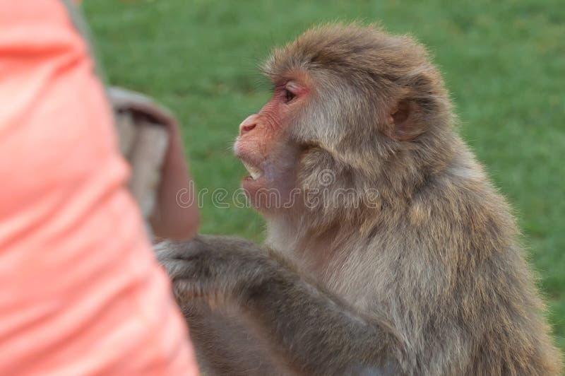 Bezceremonialni makaków zerknięcia pytają dla jedzenia od turystyczne Bezczelne małpy często biorą jedzenie lub przedmioty siłą zdjęcia stock