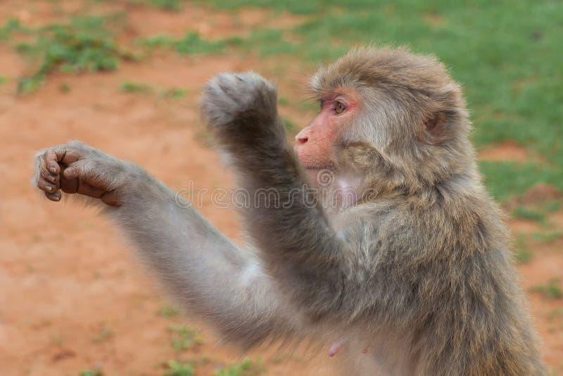 Bezceremonialni makaków zerknięcia pytają dla jedzenia od turystyczne Bezczelne małpy często biorą jedzenie lub przedmioty siłą obrazy royalty free