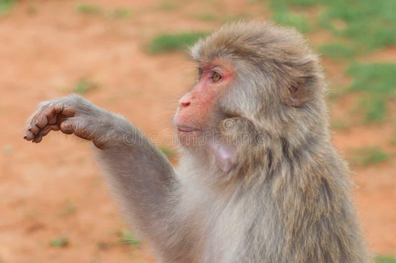 Bezceremonialni makaków zerknięcia pytają dla jedzenia od turystyczne Bezczelne małpy często biorą jedzenie lub przedmioty siłą zdjęcia royalty free