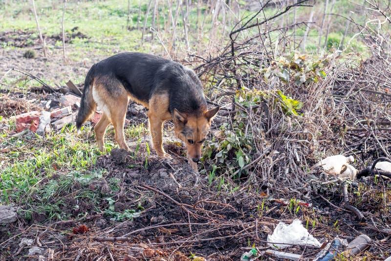 Bezdomny błąkanina pies patrzeje dla jedzenia w dump_ obrazy stock