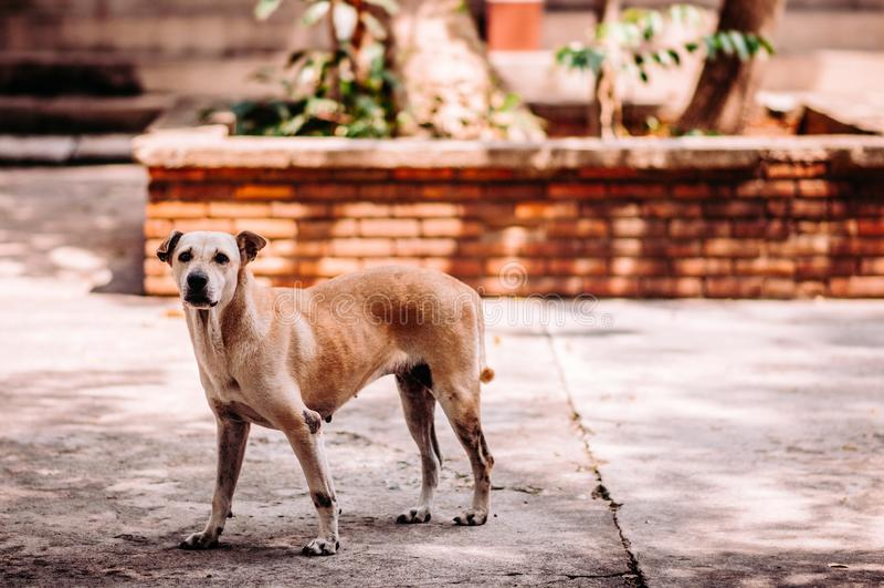 Bezdomny chory ulica pies, wścieklizny infekci ryzyko na zaniechanym psie obraz royalty free