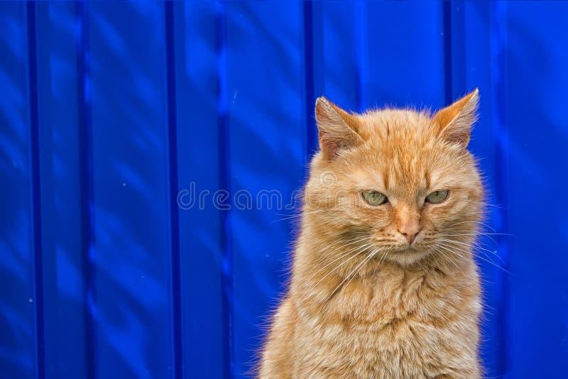 Bezdomny czerwony kota obsiadanie na błękitnym tle obraz royalty free