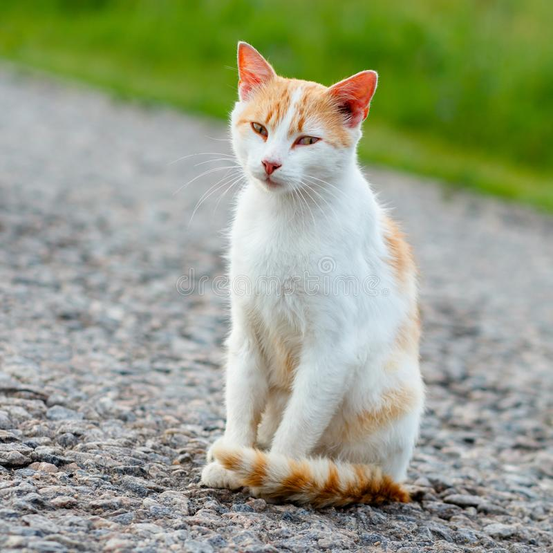 Bezdomny czerwony kota obsiadanie na ciepłej asfaltowej drodze Przybłąkany kot l obraz stock