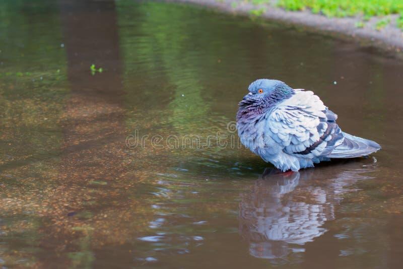 Bezdomny gołębi kąpanie w ulicie w brudnej kałuży zdjęcia royalty free