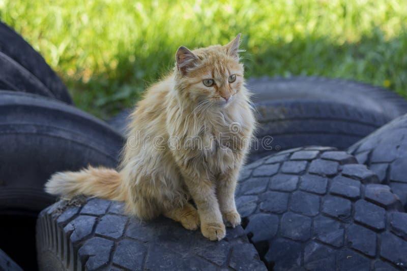 Bezdomny imbirowy kot siedzi na oponach zdjęcie stock