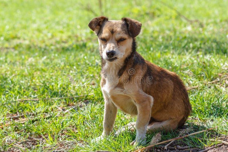 Bezdomny jest prześladowanym Bezdomny śliczny brązu pies chodzi w naturze Pies r zdjęcia royalty free