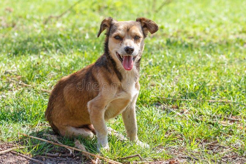 Bezdomny jest prześladowanym Bezdomny śliczny brązu pies chodzi w naturze Pies r zdjęcie royalty free