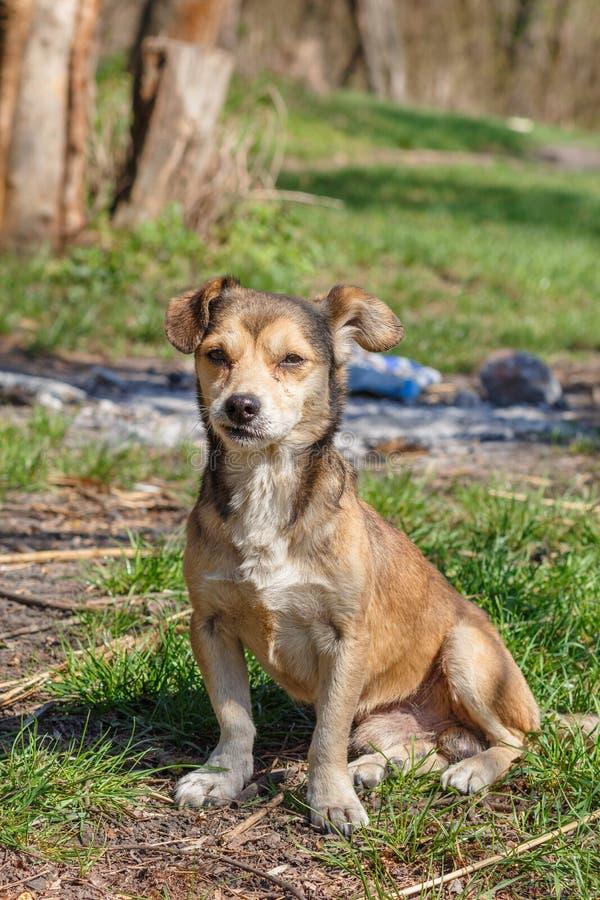 Bezdomny jest prześladowanym Bezdomny śliczny brązu pies chodzi w naturze Pies r fotografia royalty free