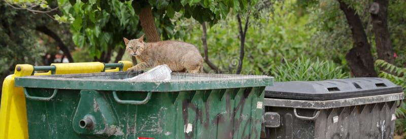 Bezdomny kot patrzeje dla resztek jedzenie w pojemnik na śmiecie zdjęcie royalty free