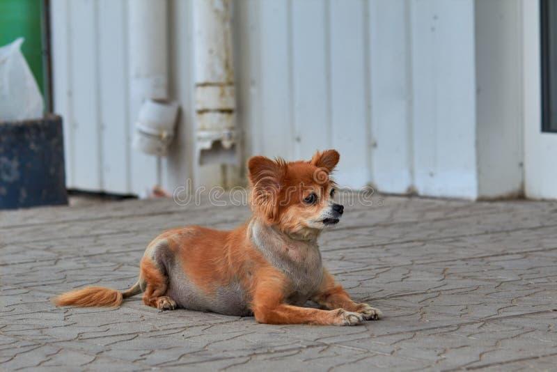 Bezdomny pies Pies kłama na ziemi Stary pies z smutnym spojrzeniem Miedzianowłosy pies na ulicie Stary doggy kłama na si zdjęcia royalty free
