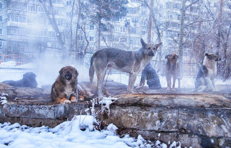 Bezdomny psy w zimie zdjęcie stock