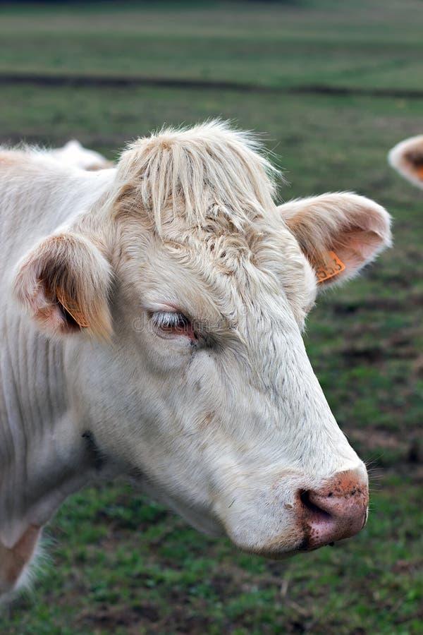 Bezerra do brâmane da imagem do close up, vaca bege com as etiquetas de orelha da identificação foto de stock