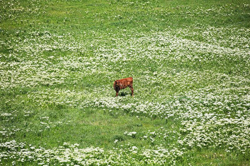 Bezerra que pasta em um pasto verde em um dia ensolarado bonito imagens de stock