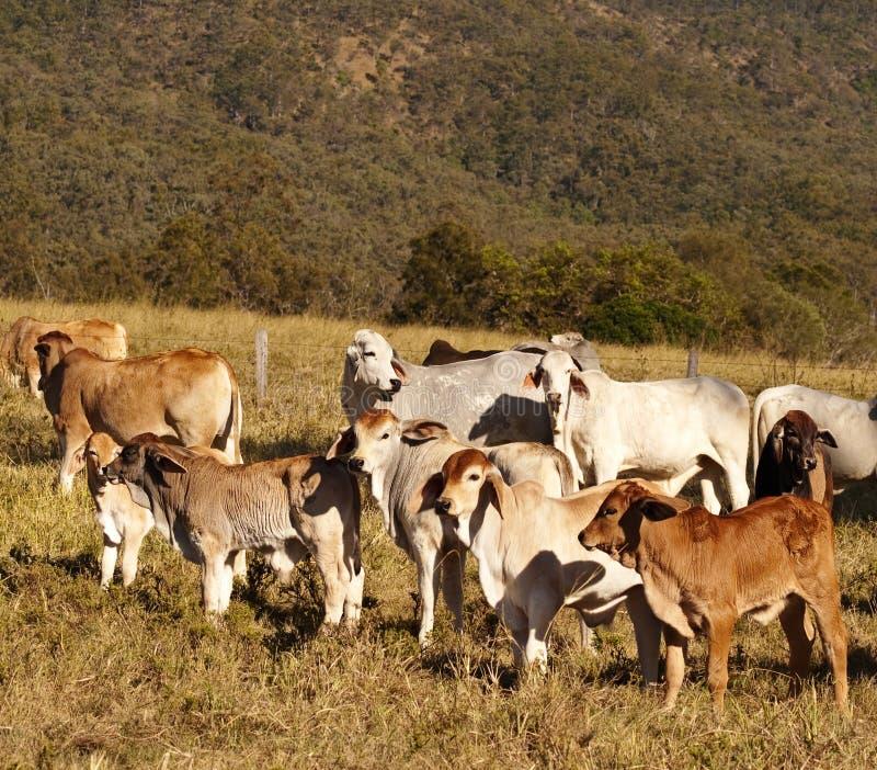 Bezerras australianas do Brahman dos gados bovinos imagens de stock royalty free