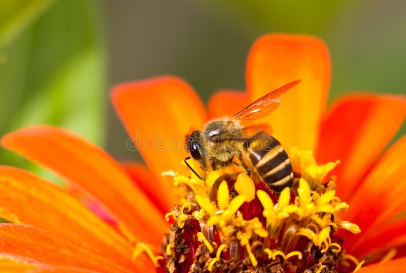 Bezige bij op oranje bloem royalty-vrije stock foto