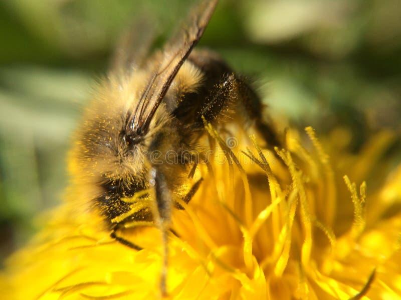 Bezige bijen royalty-vrije stock afbeeldingen