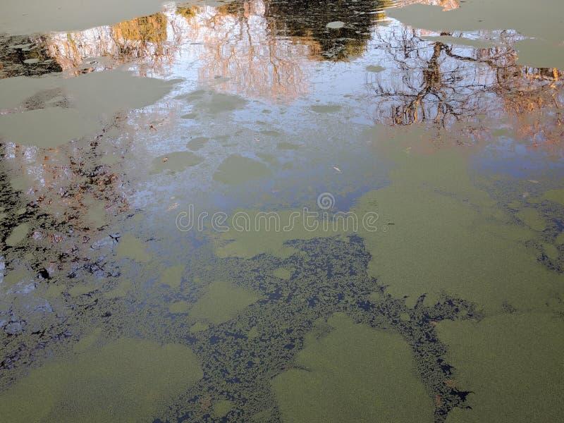 Bezinning van bomen in eendekroos behandeld water royalty-vrije stock afbeeldingen