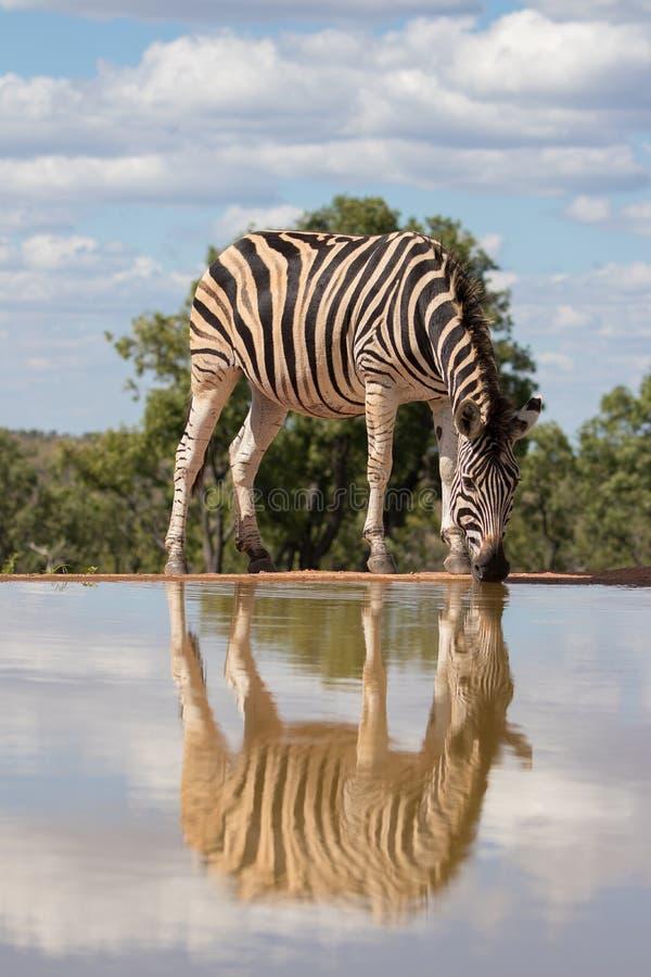 Bezinning van een zebra stock fotografie