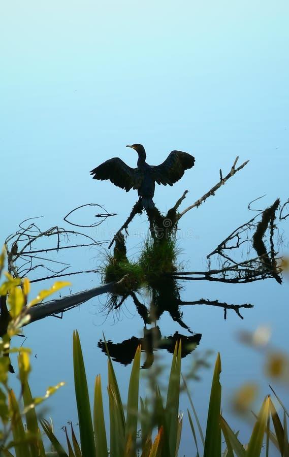 Bezinning van een zwarte vogel die zijn vleugels in het water van Meer Matheson, Nieuw Zeeland uitspreiden royalty-vrije stock afbeeldingen