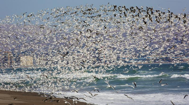 Bezlik morscy ptaki w Arica, Chile fotografia royalty free
