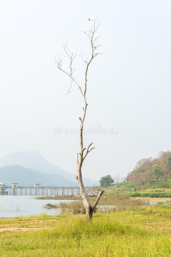 Bezlistny drzewny w śródpolnej trawie samotnie zdjęcie stock