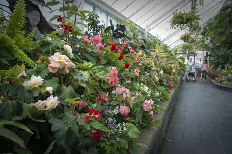 Bezoekers die die Begoniainstallaties inspecteren in Begonia House in Wellington, Nieuw Zeeland worden gekweekt royalty-vrije stock afbeeldingen