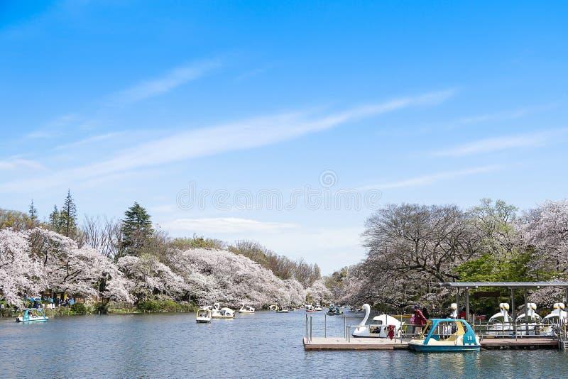 Bezoekers die zwaanboten berijden en van saku van de kersenbloesem genieten stock foto's
