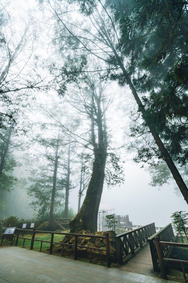 Bezpośredni światło słoneczne przez Japońskich Cedrowych drzew z mgłą w lesie w Alishan lasu państwowego Rekreacyjnym terenie w z zdjęcie royalty free