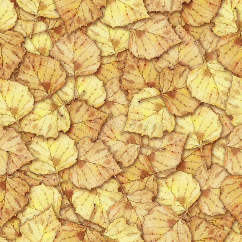Bezszwowy tło z kolorową żółtą jesieni brzozą opuszcza zdjęcie stock