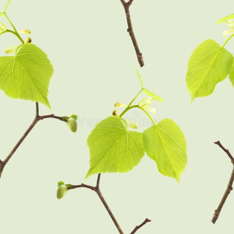 Bezszwowy wzór z wiosen lipowymi gałąź na jasnozielonym tle Wiosna nastroju wzór obrazy royalty free