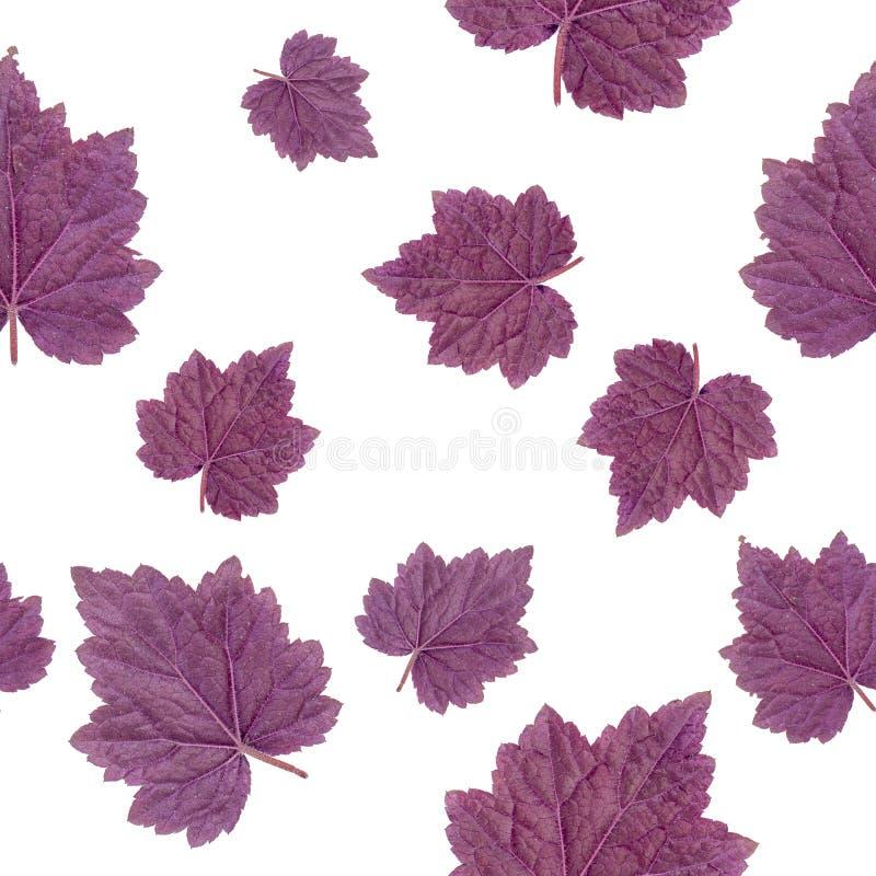 bezszwowy wzoru Purpurowy liść Geyer Odizolowywający na białym tle zdjęcia stock