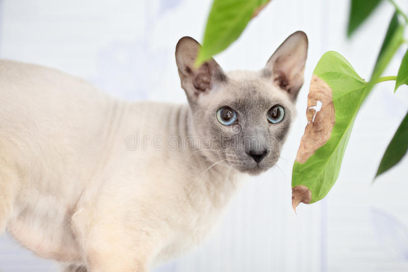 Bezwłosy Kot obrazy stock