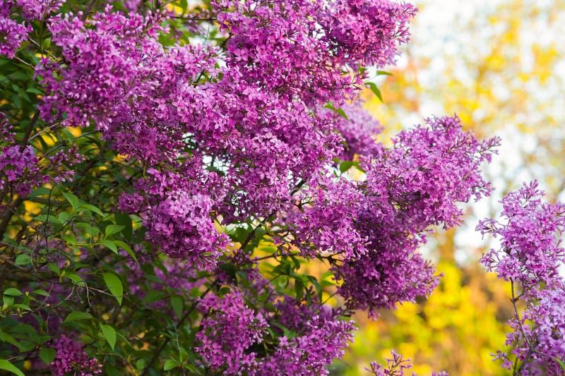 BG ramifica con las flores de la púrpura de la lila de la primavera foto de archivo