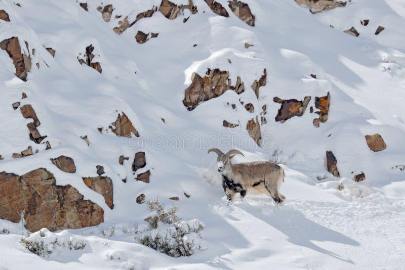 Bharal blauwe Schapen, Pseudois nayaur, in de rots met sneeuw, Hemis NP, Ladakh, India in Azi? Bharal in aard sneeuwhabitat Gezic stock afbeelding