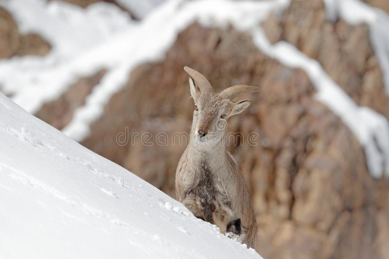 Bharal blue Sheep, Pseudois nayaur, in the rock with snow, Hemis NP, Ladakh, India in Asia. Bharal in nature snowy habitat. Face stock photos