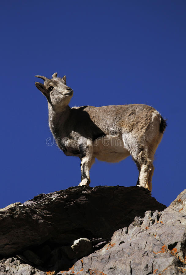 Bharal or blue sheep Pseudois nayaur. In Rumbak Valley in Ladakh India. Hemis High Altitude National Park stock photos