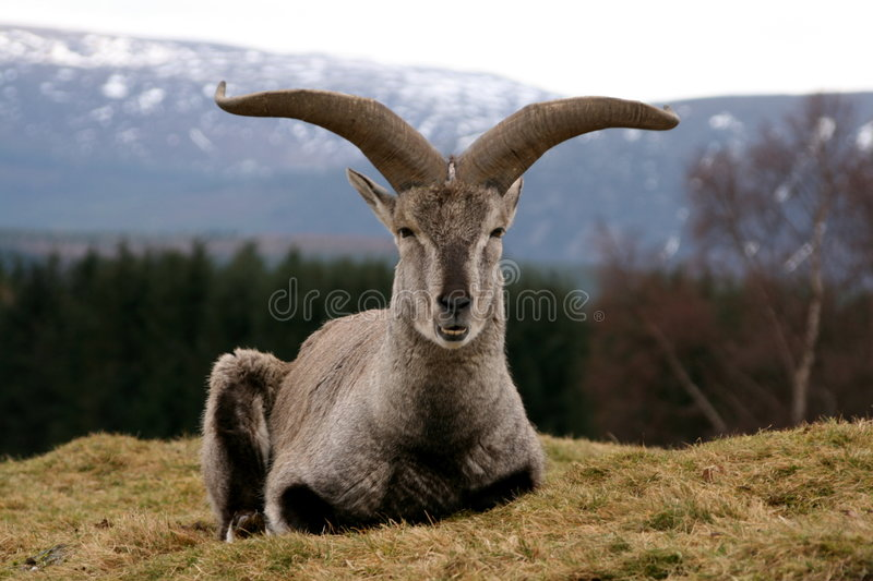 Bharal Himalayan Blue Sheep. Image of Bharal - A himalayan blue sheep stock image