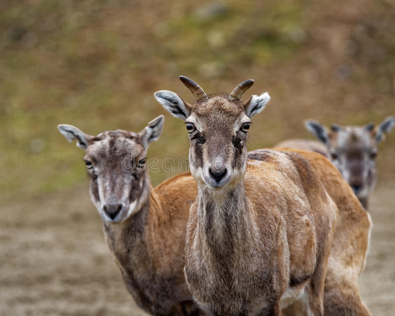 Bharal. Or Himalayan blue sheep or naur (Pseudois nayaur) is a caprid found in the high Himalayas of India, Nepal, Bhutan, Tibet, and Pakistan royalty free stock photos