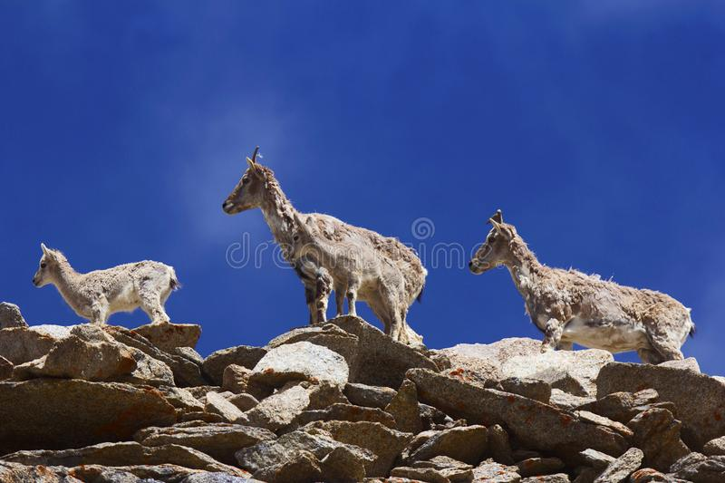 Bharal or Himalayan blue sheep or naur, seudois nayaur, Khardung village, Jammu and Kashmir. India stock photo