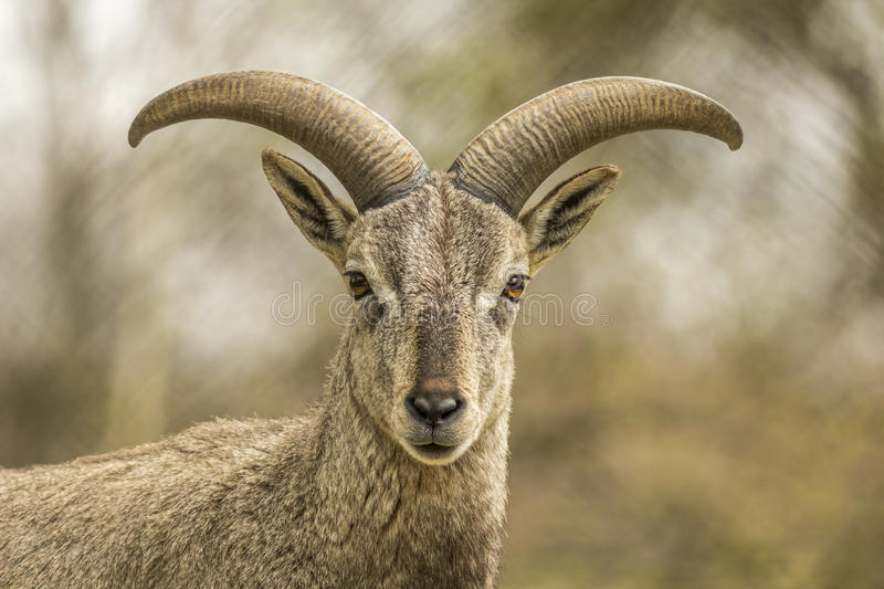 Bharal or Himalayan Blue Sheep portrait stock photo