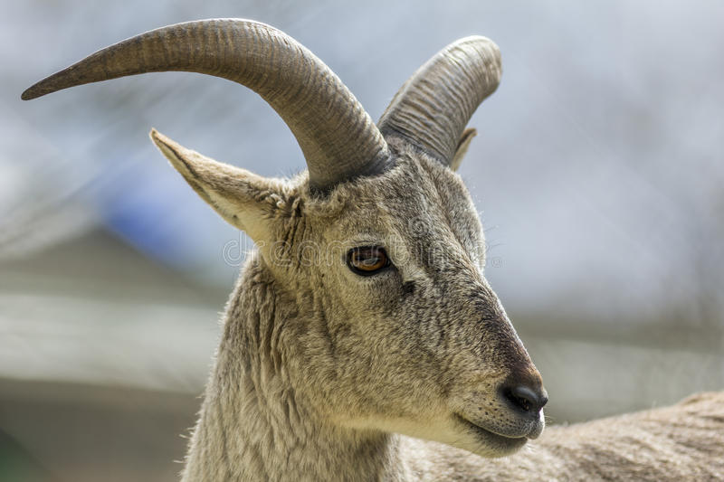 Bharal or Himalayan Blue Sheep portrait. Young male Bharal or Himalayan Blue Sheep portrait stock image