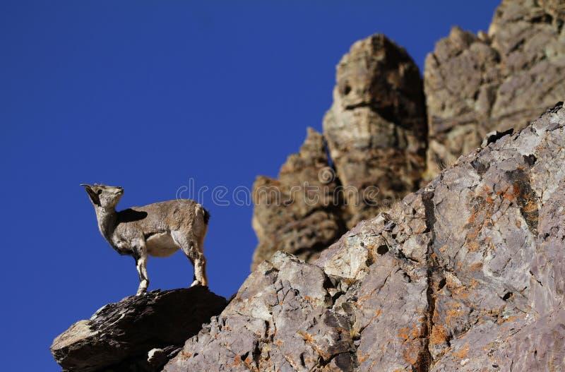 Bharal ou nayaur bleu de Pseudois de moutons photos stock